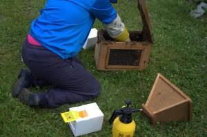 Nuoria mehiläisiä kerätään kasvatetun emon kaveriksi parituspesään.