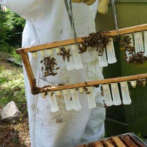 Toukat kasvamassa emoiksi, kasvatuskehällä, joka asetetaan  mehiläispesään, niin sanottuun lopetuskuntaan.